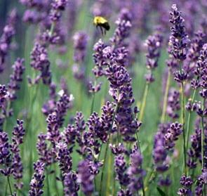 define-lavender-1