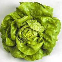 bibb lettucecrop