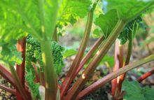 rhubarbgrowing