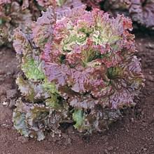 tropicanalettucecrop