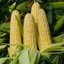 sweetcorncrop