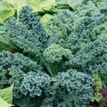 Kale-VatesBlueCurledScots