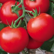 tomatoescrop