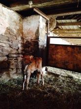 Hiddenhills cow