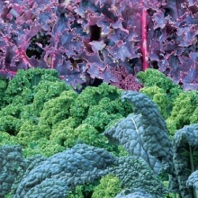 three_colors_kale