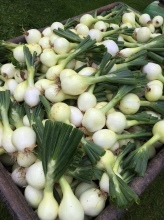 candy_onions