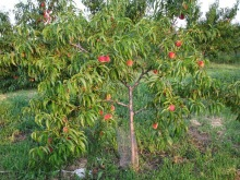 beccari_farm_peach_tree
