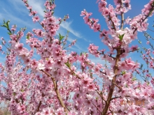 blossoms_dawsons_orchards